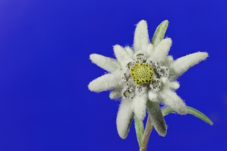 a beautiful edelweiss on a blue sky