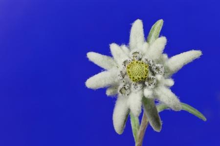 una bella stella alpina su un cielo blu