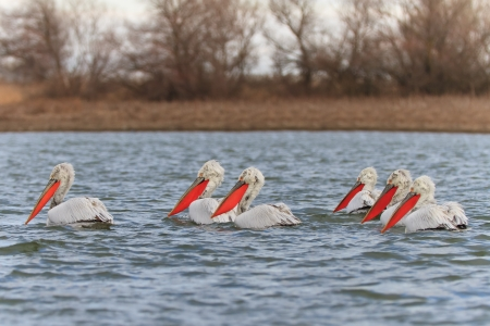 Dalmatian Pelicans  Pelecanus crispus  in the Danube Delta, Romania photo