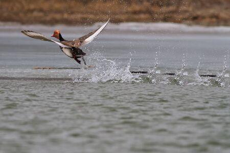 aythya ferina: Pochard (Aythya ferina) in flight on the lake Stock Photo