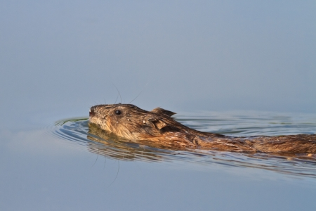 muskrat: Muskrat swimming through the waters of a lake  Stock Photo
