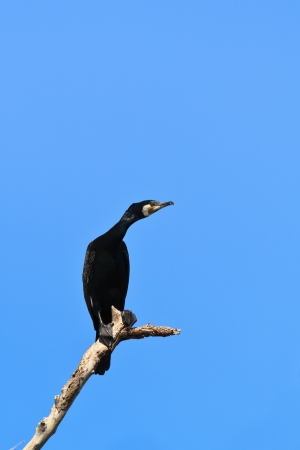 cormorant in a tree on blue sky background  photo