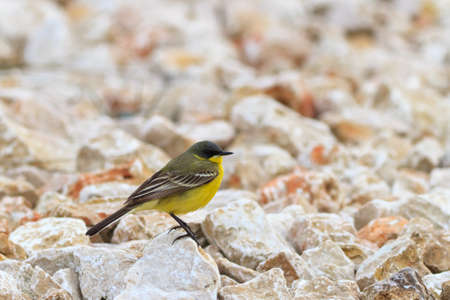 warble: yellow wagtail warble standing on the rocks  Stock Photo