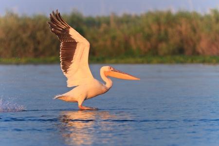 danube delta: white pelican (pelecanus onocrotalus) in flight in Danube Delta, Romania Stock Photo
