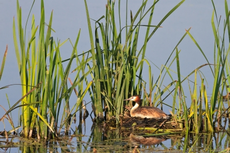 great crested grebe (podiceps cristatus) on nest photo