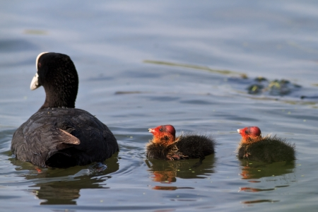 coot: Eurasian coot (Fulica atra) with baby coot chicks