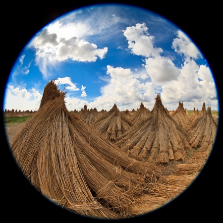 fisheye lens image of dried cluster of reed photo