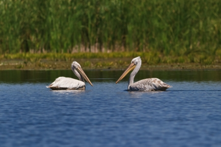 Dalmatians Pelicans  Pelecanus crispus  in the Danube Delta, Romania photo