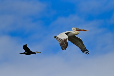 cormorant  phalacrocorax carbo  and dalmatian pelican  pelecanus crispus   in flight in Danube Delta, Romania photo
