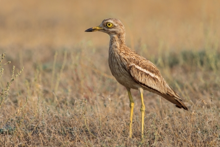 Eurasian Stone curlew in the Danube Delta, Romania