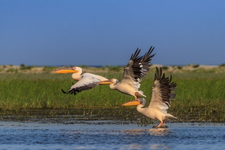 white pelicans (pelecanus onocrotalus) in flight in Danube Delta, Romania
