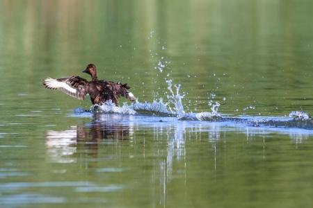 ferruginous: Ferruginous Duck - Aythya nyroca Male on a lake Stock Photo