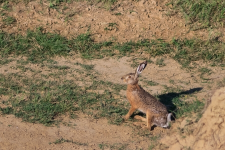 fastness: european brown hare (lepus europaeus) sitting in a field Stock Photo