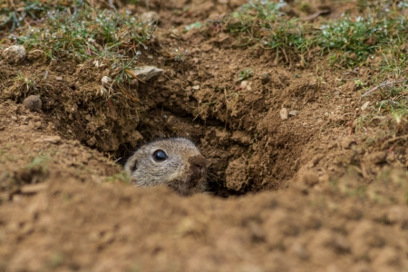 burrow: prairie dog (cynomys ludovicianus) sticking out from a burrow.