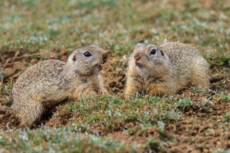 two black-tailed prairie dogs in their home area. photo