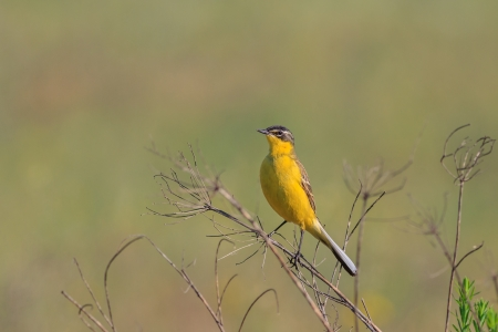 warble: yellow wagtail warble on a tree twig