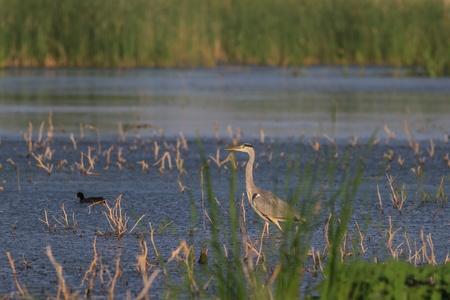 ardea cinerea: grey heron (ardea cinerea) standing on a lake