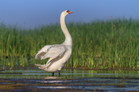 Whooper Swan (Cygnus cygnus) on lake.  Location: Comana Natural Park, Romania photo