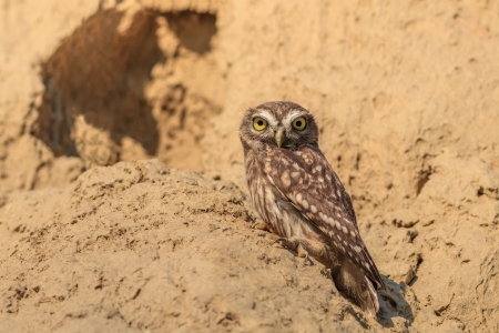 burrowing: Burrowing Owl (Athene cunicularia) on the nest