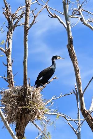 cormorant (phalacrocorax carbo ) on nest in Danube Delta, Romania photo