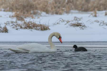 Whooper Swan (Cygnus cygnus) and Eurasian coot (Fulica atra) in winter.  Location: Comana Natural Park, Romania photo