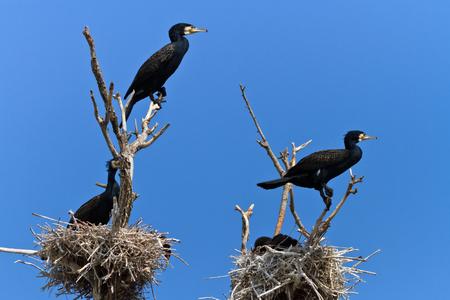 cormorants (phalacrocorax carbo ) on nest in Danube Delta, Romania photo