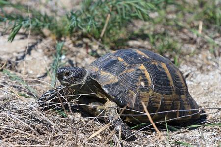 emys: European bog turtle (emys orbicularis) in Danube Delta, Romania