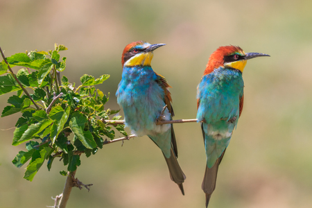 european bee eater (Merops Apiaster) on the branch. Danube Delta, Romania