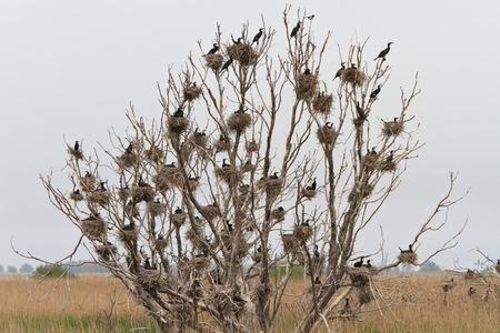 cormorant nests in a tree in Danube Delta, Romania photo