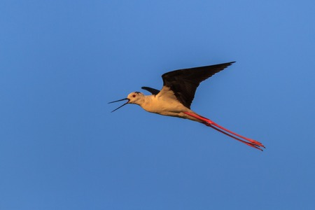 black winged stilt: black winged stilt (Himantopus himantopus) in flight. Danube Delta, Romania Stock Photo