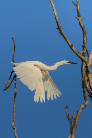 danube delta: Little egret (Egretta garzetta) in flight. Location: Danube Delta, Romania