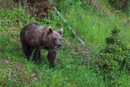 fagaras: young wild bear in the forest. Fagaras Mountains, Romania