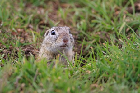 burrow: prairie dog (cynomys ludovicianus) sticking out from a burrow