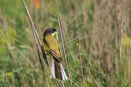 danube delta: yellow wagtail warble in Danube Delta, Romania