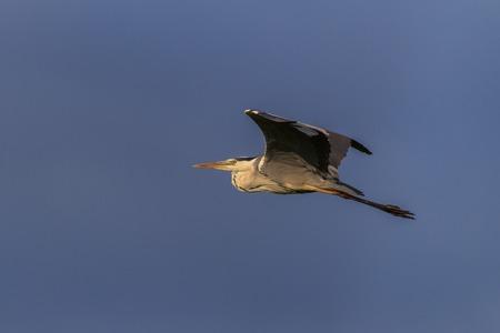 danube delta: grey heron (ardea cinerea) in flight. Location: Danube Delta, Romania Stock Photo