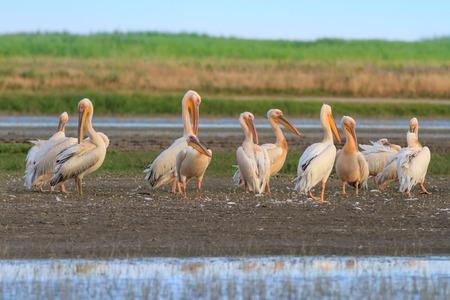 danube delta: white pelicans (pelecanus onocrotalus) in the Danube Delta, Romania Stock Photo