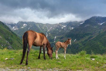fagaras: cavalli al pascolo nella valle di montagna, Fagaras Montagna, Romania