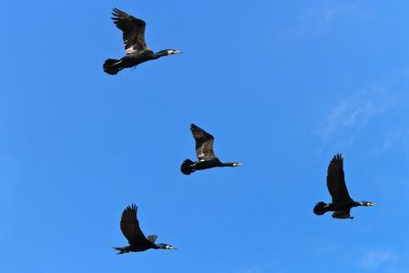 carbo: cormorants (phalacrocorax carbo) in flight in Danube Delta, Romania