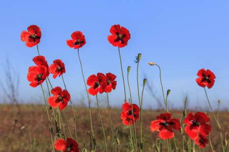 danube delta: red poppies on green field. Danube Delta, Romania