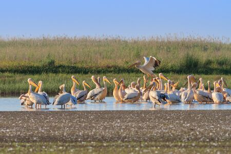 danube delta: a group of pelicans in the Danube Delta, Romania