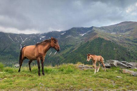 fagaras: horses grazing in the mountain valley. Fagaras Mountain, Romania Stock Photo