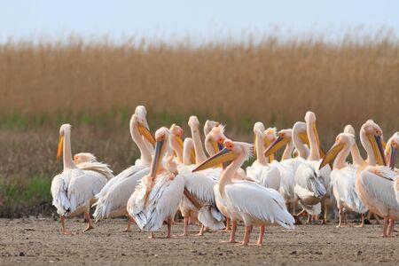 danube delta: white pelicans in the Danube Delta, Romania