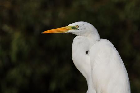 danube delta: great white egret egretta alba in Danube Delta, Romania Stock Photo