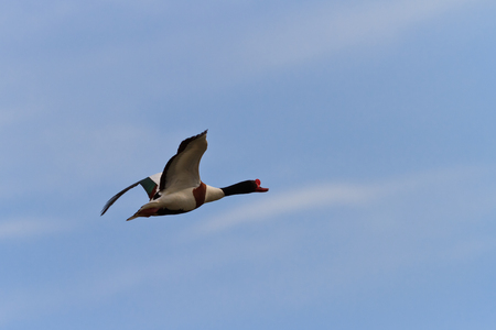 wildfowl: Common Shelduck Tadorna tadorna in flight. Danube Delta, Romania Stock Photo
