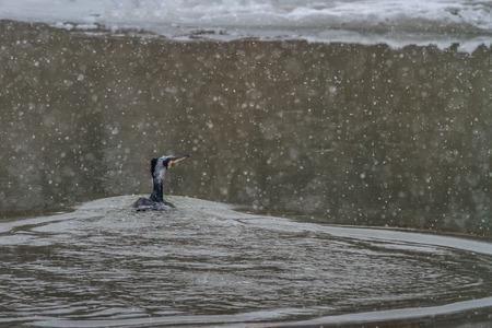danube delta: cormorant phalacrocorax carbo  in winter. Location: Danube Delta, Romania