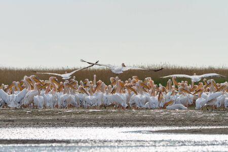 danube delta: white pelicans (pelecanus onocrotalus) in Danube Delta, Romania