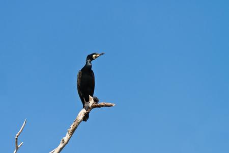 danube delta: cormorant in a tree on blue sky background. Location: Danube Delta , Romania Stock Photo