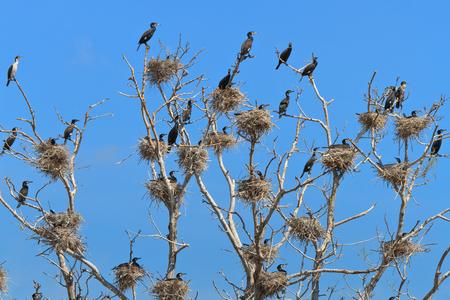 danube delta: cormorant nests in a tree. Danube Delta, Romania