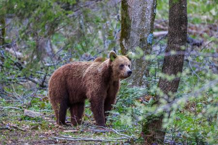 fagaras: wild bear in Fagaras Mountains, Romania