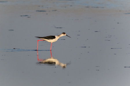 black winged stilt: black winged stilt in Danube Delta, Romania Stock Photo